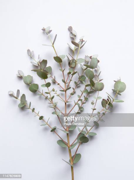 branch of an eucalyptus - eucalyptus tree stock pictures, royalty-free photos & images