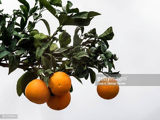 branch of an orange tree with oranges ready for the harvest - 果樹 ストックフォトと画像
