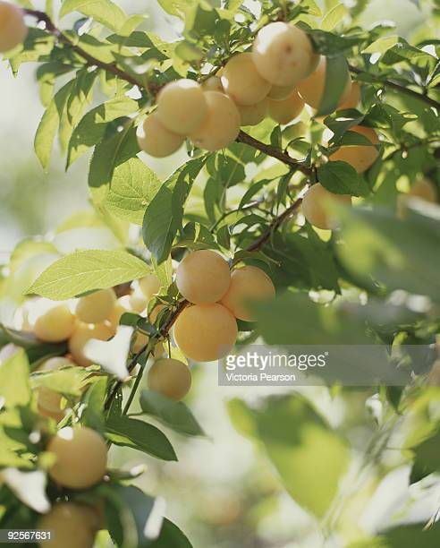 Branch of apricot tree