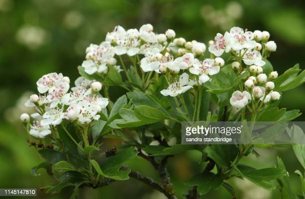 a branch of beautiful hawthorn tree, blossom, crataegus monogyna, growing in the countryside in the uk. - hawthorn,_victoria stock pictures, royalty-free photos & images