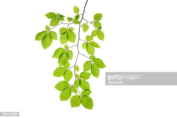 Branch of Beech tree, European Beech, Fagus sylvatica