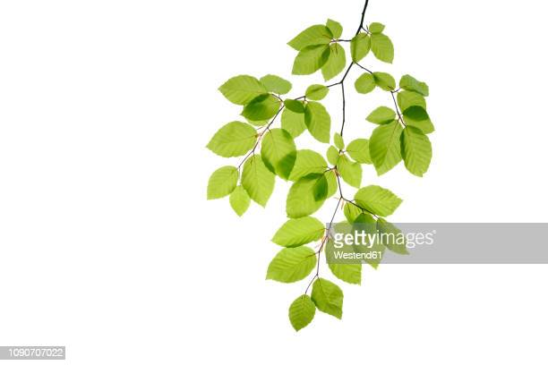 branch of beech tree, fagus sylvatica, white background - blatt pflanzenbestandteile stock-fotos und bilder