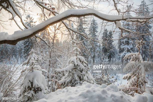 Branch of beech tree laden with snow after snowfall in mixed forest in winter