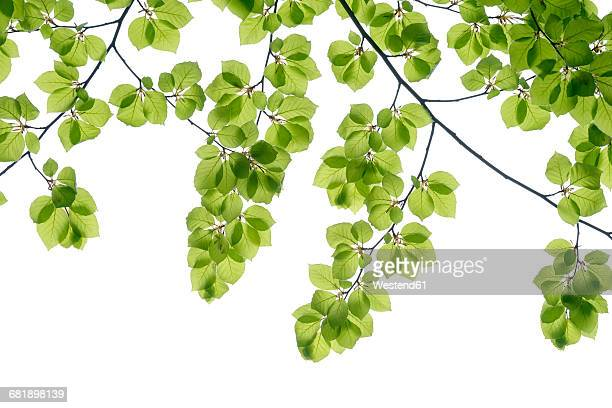 Branch of beech with fresh foliage in spring in front of white background