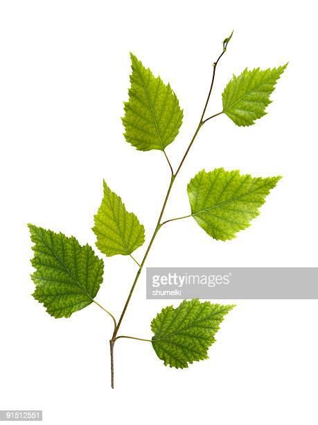 Bündel von Birke mit junge grüne Blätter