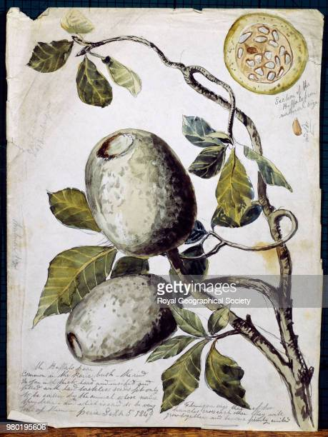 Branch of Buffalo Pear tree showing fruit and leaves Cape Province Sketch of a crosssection of the fruit drawn in top right hand corner South Africa...