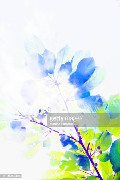 branch of cherry tree - radicella stockfoto's en -beelden