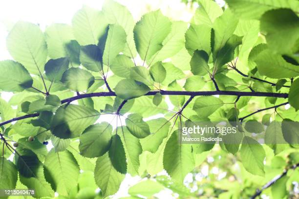 branch of cherry tree - radicella stock pictures, royalty-free photos & images