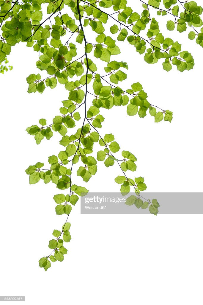 Branch of European beech in front of white background : Stock Photo