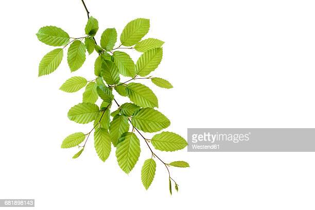 branch of european hornbeam with fresh foliage in spring in front of white background - twijg stockfoto's en -beelden