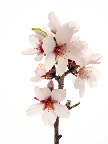 Branch of flowers of almond-tree in spring, studio shot on a white background cut-out. - gettyimageskorea