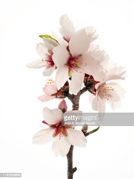 branch of flowers of almond-tree in spring, studio shot on a white background cut-out. - almond stock pictures, royalty-free photos & images