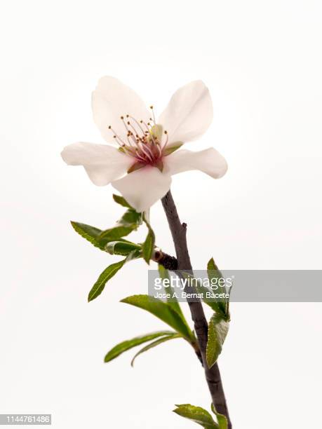 branch of flowers of almond-tree in spring , studio shot on a white background cut-out. - almendro fotografías e imágenes de stock