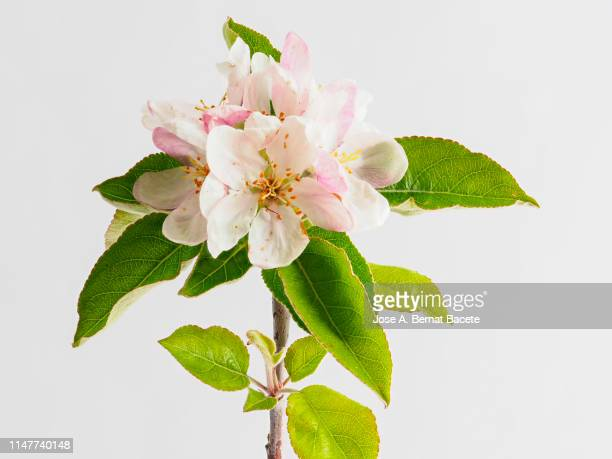 branch of flowers of apple tree in spring , studio shot on a white background cut-out. - apple blossom tree stock pictures, royalty-free photos & images