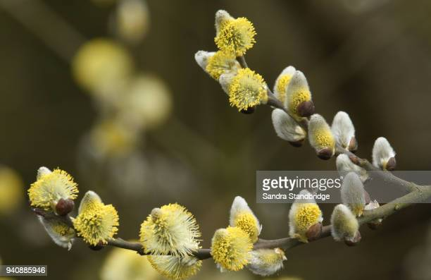 a branch of flowing pussy willows (salix) . - hairy bush stock pictures, royalty-free photos & images