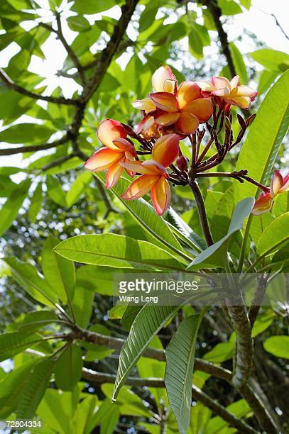 Branch of Frangipani tree, flowers in bloom