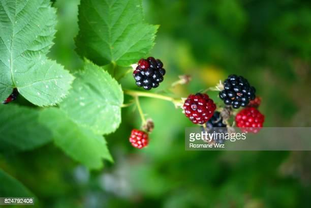 A branch of glossy blackberries (Rubus ulmifolius) hanging in green shade
