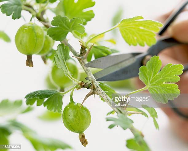 Branch of gooseberry bush with secateur blades