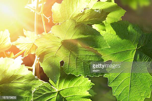 branch of grape vine - grape leaf stock pictures, royalty-free photos & images