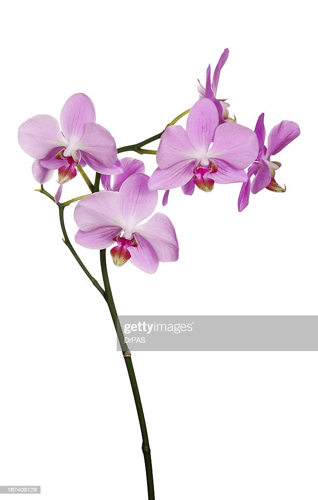branch of isolated pink orchids with red centers : Stock Photo