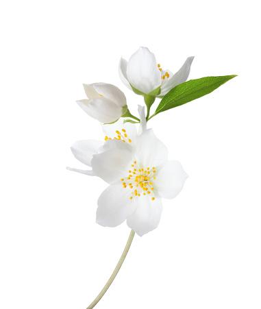 Branch of  Jasmine's (Philadelphus) flowers isolated on white background. 1134069126