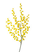 Branch of Mimosa flowers isolated on white background.
