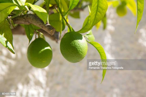 Branch of orange with two green oranges