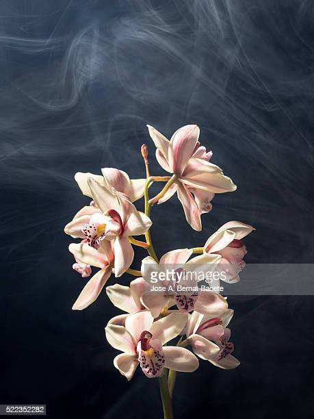 Branch of orchids (Ophrys Cymbidium) on a black blackground with smoke