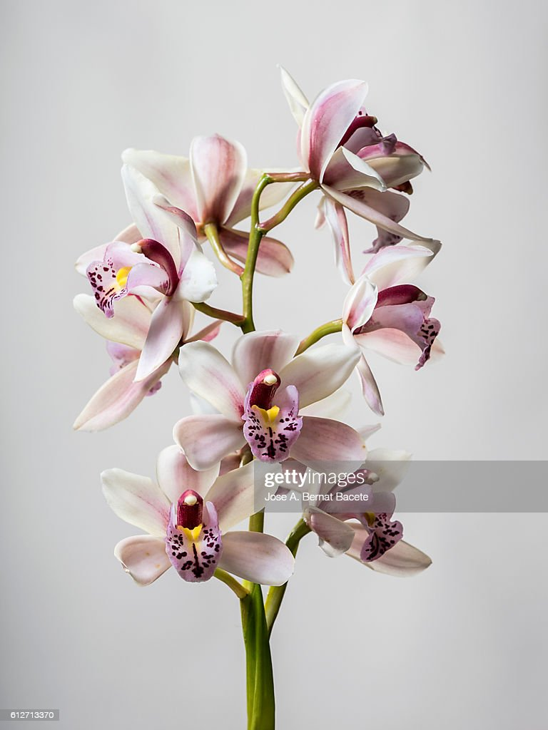 Branch of orchids (Ophrys Cymbidium) on a gray blackground : Foto de stock