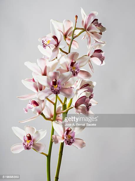 Branch of orchids (Ophrys Cymbidium) on a white blackground