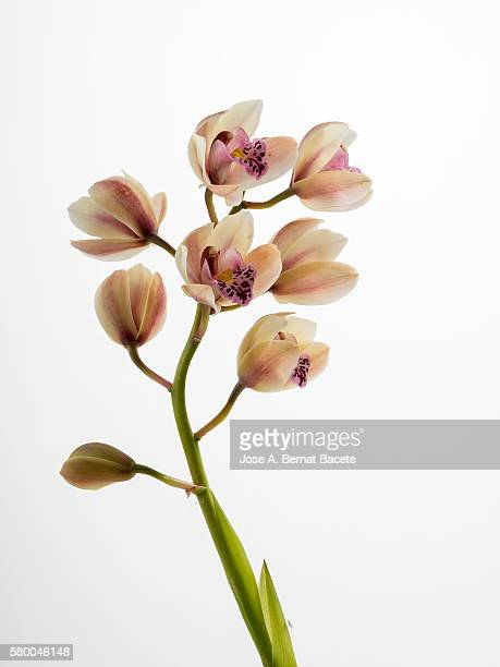 branch of orchids (ophrys cymbidium) on a white blackground - bud stock pictures, royalty-free photos & images