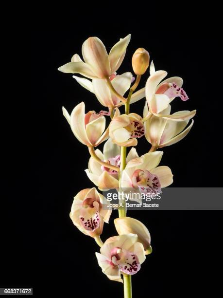 branch of orchids (ophrys cymbidium) , studio shot on a black background cut-out - frescura ストックフォトと画像