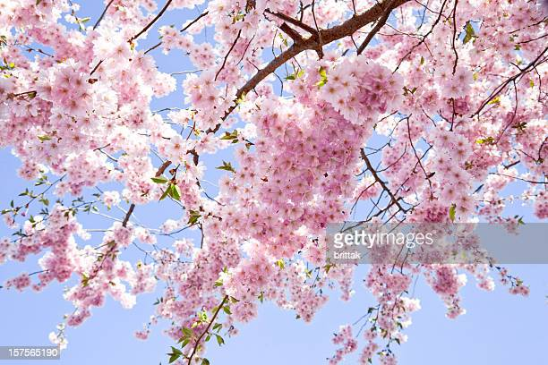 Branch of pale pink cherry blossoms against pale blue sky