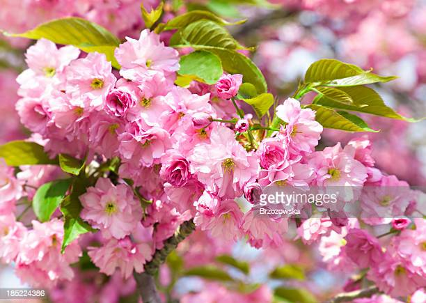 branch of pink flowers - crab apple tree stock pictures, royalty-free photos & images