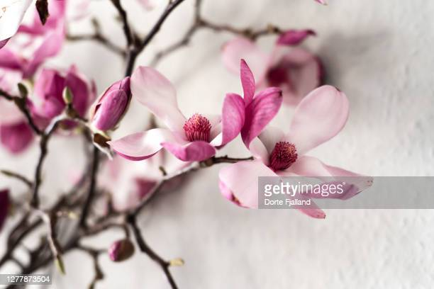 branch of pink magnolia against a white wall - dorte fjalland fotografías e imágenes de stock