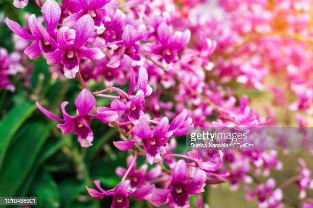 branch of purple orchids blooming - vanda stock pictures, royalty-free photos & images