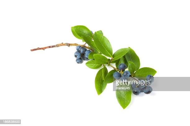 Branch of ripe blueberries and leaves on a white background