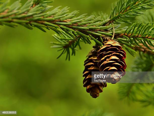 A branch of spruce and pine cone