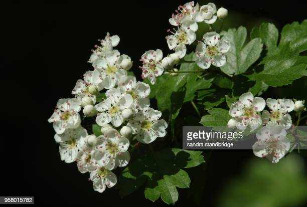 a branch of stunning hawthorn blossom (crataegus monogyna). - hawthorn,_victoria stock pictures, royalty-free photos & images