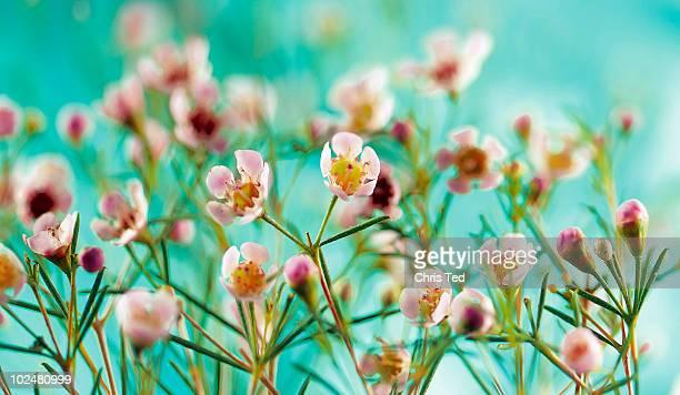 branch of tea tree flowers