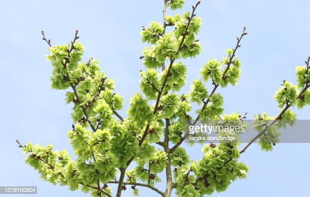a branch of the fruits of an english elm tree, ulmus procera, growing in woodland in the uk. - elm tree stock pictures, royalty-free photos & images