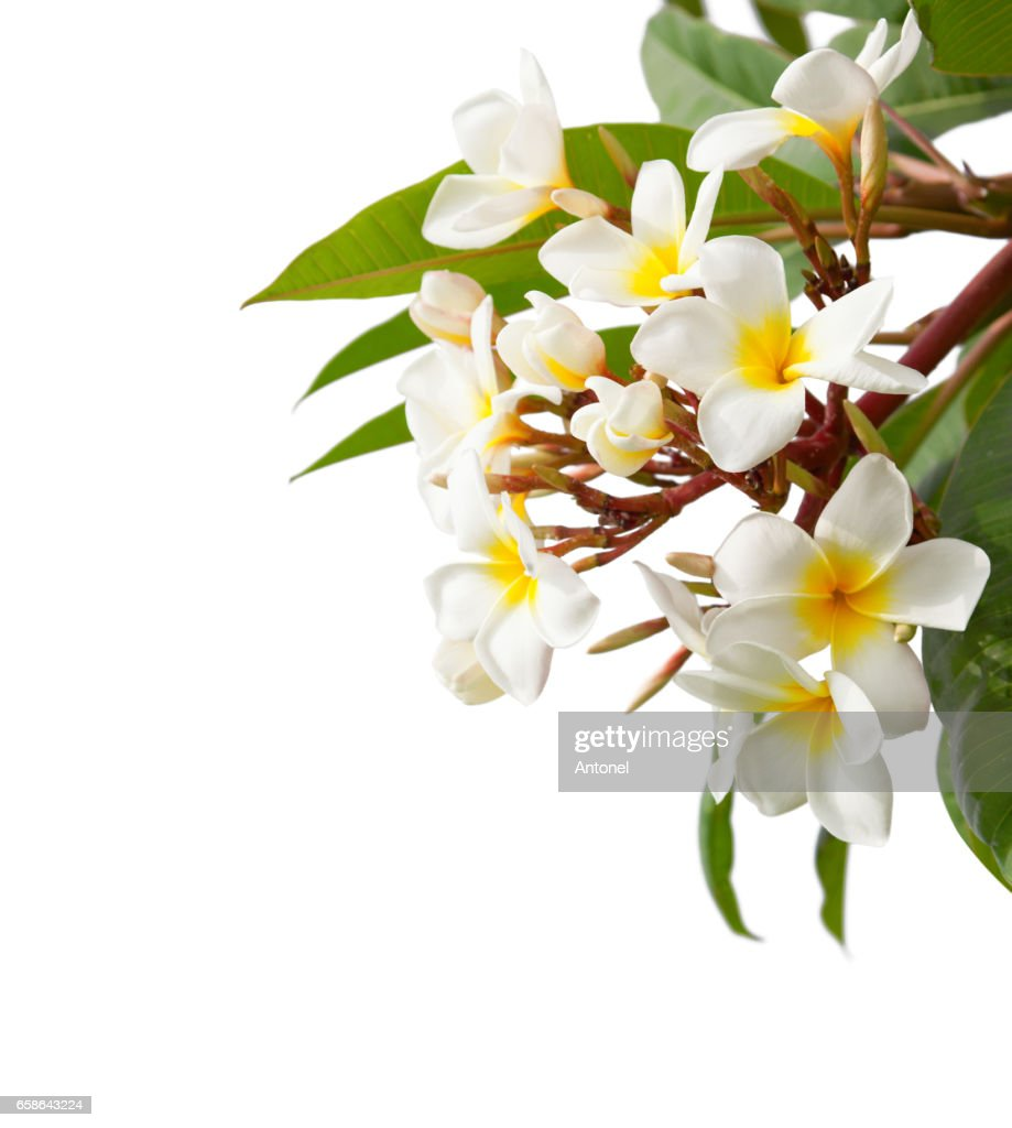 Branch Of Tropical White Flowers Isolated On White Background Stock