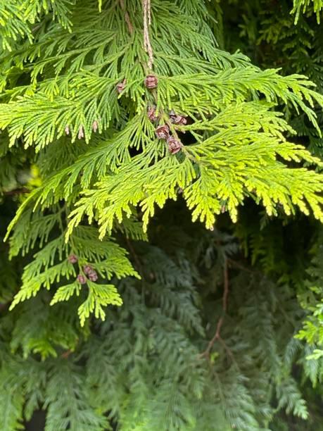 Branch of Western Red Cedar Tree (Thuja plicata)