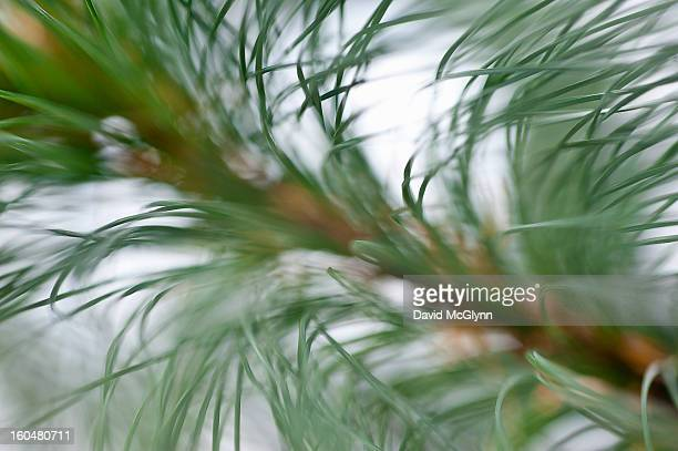 branch of white pine needles - eastern white pine stock pictures, royalty-free photos & images