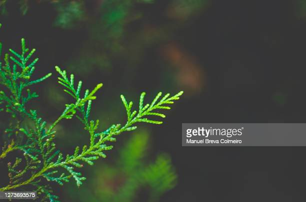 branch - benicassim stock pictures, royalty-free photos & images