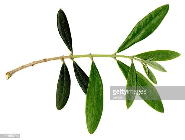 branch - olive branch stock pictures, royalty-free photos & images