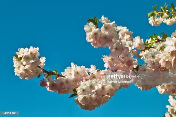 Branch, pink flowering spring cherry Accolade, Prunus serrulata (prunus sargentii x subhirtella accolade), flowers in spring, Bavaria, Germany