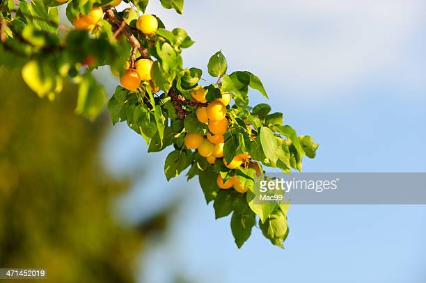 branch with apricots against blue sky - apricot tree stock pictures, royalty-free photos & images