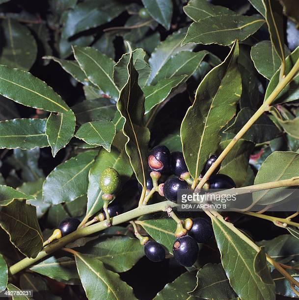 Branch with berries Bay Laurel Lauraceae