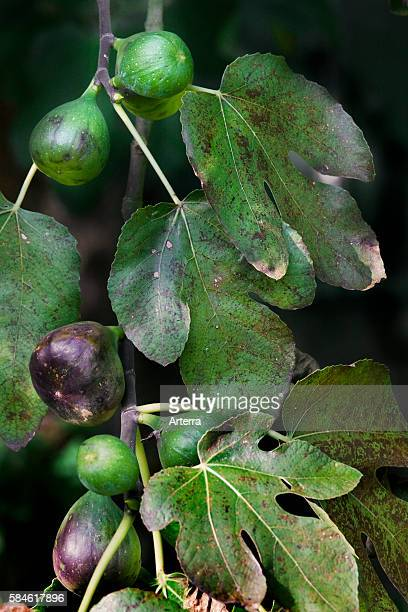Branch with figs of Common fig tree Europe